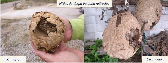 Nido de Vespa velutina retirado